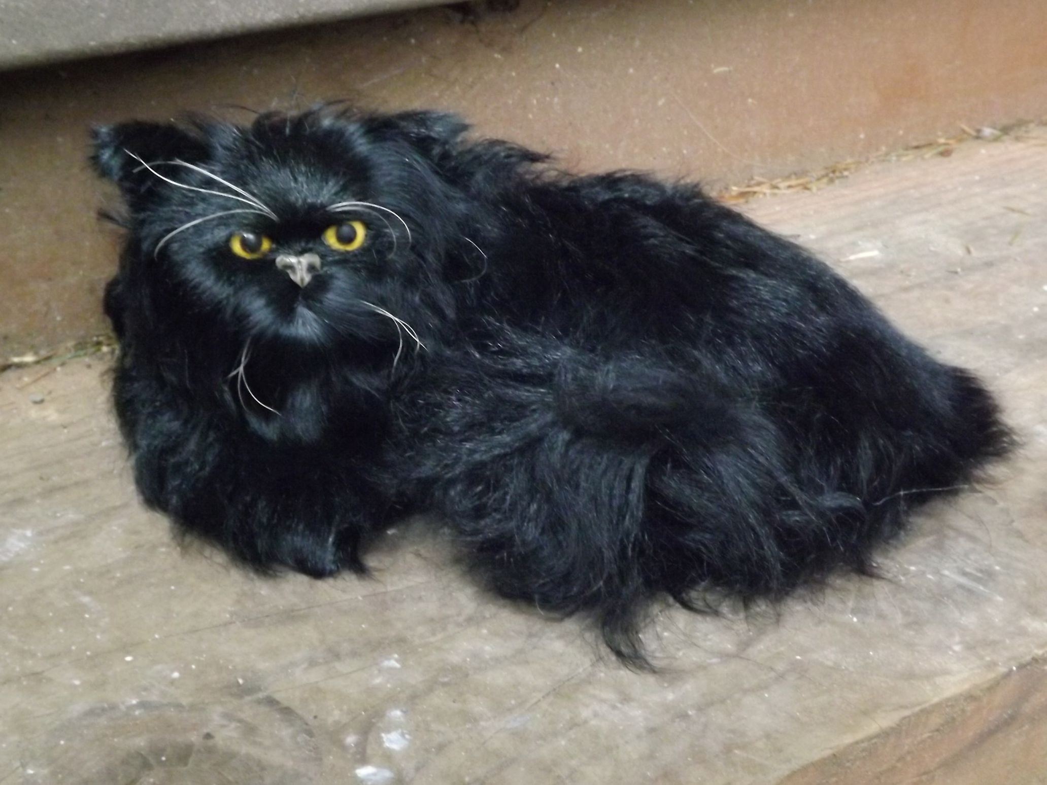 GHC385BR-Black-Persian-Cat-with-Real-Long-Hair