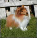 Stuffed Collies and Shelties