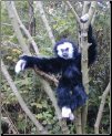Stuffed Gibbons