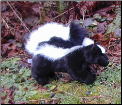 Stuffed Skunks